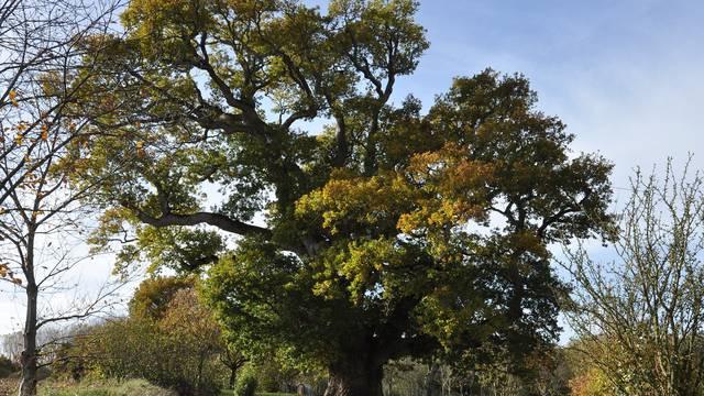 Chêne pédonculé - Hénanbihen