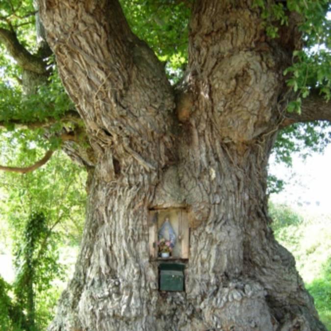 Chêne pédonculé Plénée-Jugon