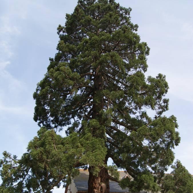 Séquoia géant Lamballe